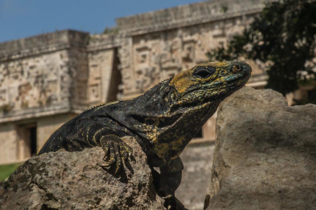 iguana at uxmal